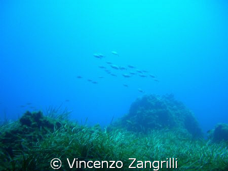 bank of dorades swimming free in Ustica Island by Vincenzo Zangrilli