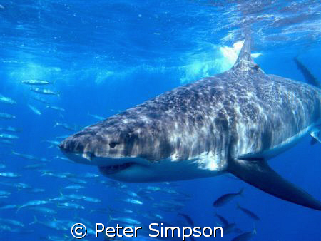 The Stare Down, Photo taken at Isla Guadalupe, with an Ol... by Peter Simpson