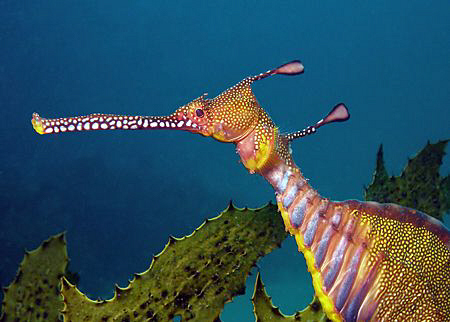 Weedy Sea Dragon, Kurnell by Doug Anderson