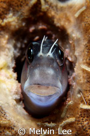 Blenny closeup. Full frame. Canon 400D , 100mm , +4 close... by Melvin Lee