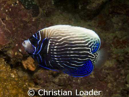Emperor Angelfish - changing from juvenile to adult. 