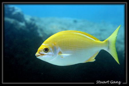 """""""Yellow Chub"""" In old Hawaii it was regarded as the Queen ... by Stuart Ganz"""