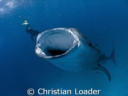 Whale Shark feeding at Hanifaru - Baa Atoll, Maldives. O... by Christian Loader