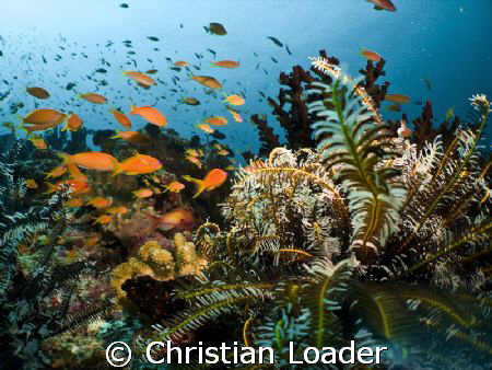Anthias and Feather Star. Olympus SP350, Inon D2000 strob... by Christian Loader