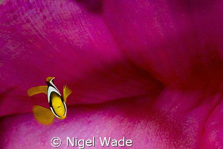 juvanile Clarks Anenomefish Nikon D200 60mm Dega Thila Ar... by Nigel Wade