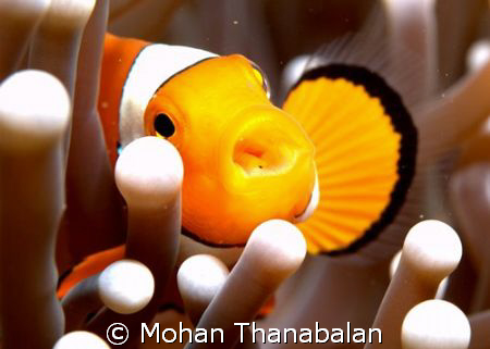 Feed me! I'm hungry! Pic taken in Lembeh Straits, Indonesia by Mohan Thanabalan