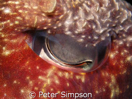 A little abstract, The eye of a cuttlefish, taken at Indi... by Peter Simpson
