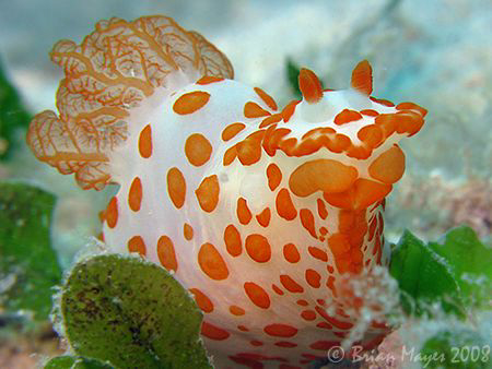 This charming little Red-Papulose Gymnodoris (Gymnodoris ... by Brian Mayes