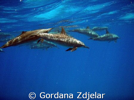 Delphinus delphis, Egypt, Deep South by Gordana Zdjelar