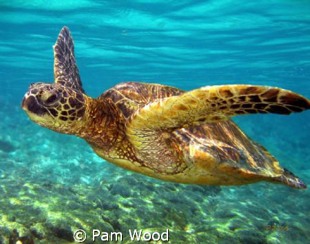 This beautiful Green Sea Turtle was shot off the coast of... by Pam Wood