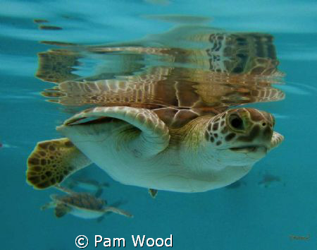4 month old baby Green Sea Turtle by Pam Wood