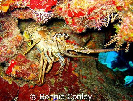 Lobster seen at Grand Cayman July 2008.  Photo taken with... by Bonnie Conley