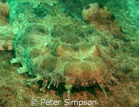 """The Wobbie"" A Wobbegong Shark, photo taken at Shelly Bea... by Peter Simpson"