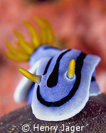 """Chromodoris""  by Henry Jager"