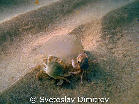Two crabs eating the jelyfish. It seems taht they are try... by Svetoslav Dimitrov