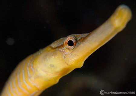 Snake pipefish.