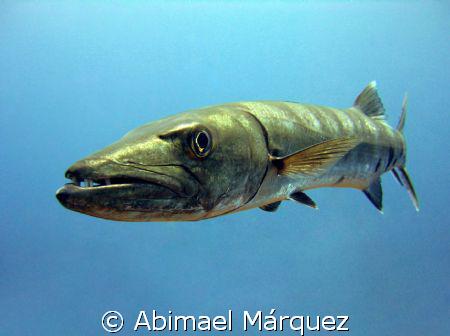The Great Barracuda by Abimael Márquez