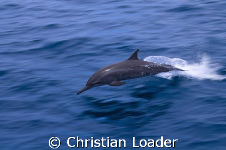 Spinner Dolphin  -  i'd like to say that this was the RAW... by Christian Loader