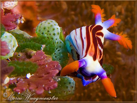 &quot;Nudibranch and Tunicates&quot; (Canon G9, D2000w, UCL165) by Marco Waagmeester 
