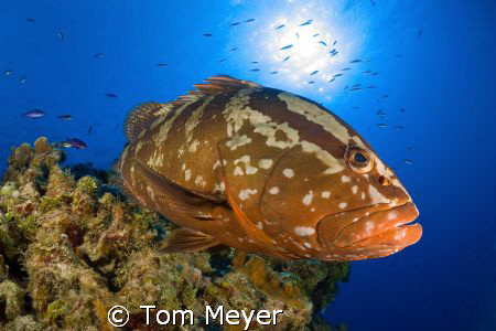 Grouper at Little Cayman.  Nikon D200, 10.5 lens by Tom Meyer