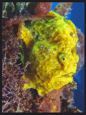 Yellow Frog fish. by Juan Torres