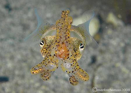 Little Cuttle - Sepiola atlantica.