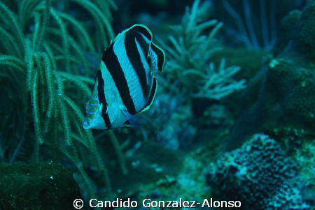 Banded butterfly fish by Candido Gonzalez-Alonso 