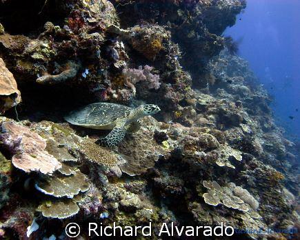 Sea Turtle watching diver's swim by by Richard Alvarado