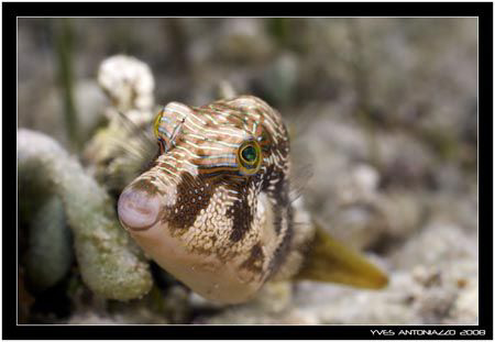 Cute puffer fish for me today D200/ 60mm by Yves Antoniazzo