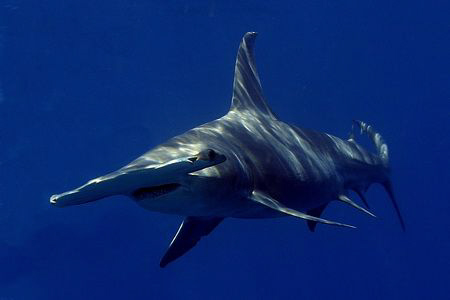 Great Hammerhead Shark by Eric Orchin