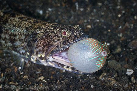 No, I don't want to come home for Dinner!  Lizardfish att... by Ross Gudgeon