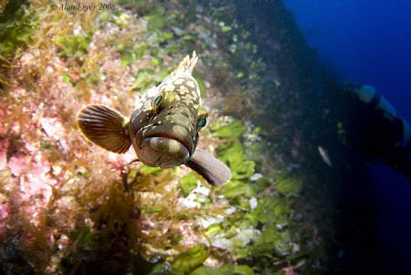 Grouper in the Coral Garden Gozo by Alan Fryer