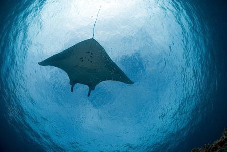 Manta Ray disappearing in the distance above. by Erika Antoniazzo