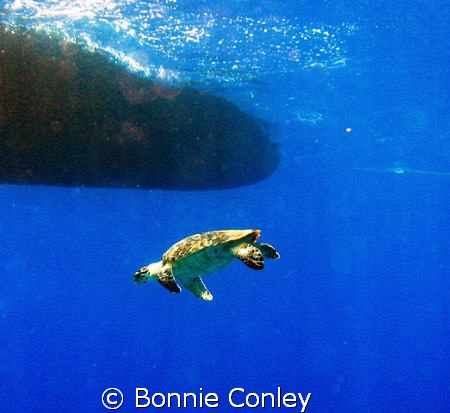 Turtle seen in Grand Cayman August 2008.  Photo taken wit... by Bonnie Conley