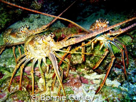 Lobster trio seen August 2008 in Grand Cayman.  Photo tak... by Bonnie Conley