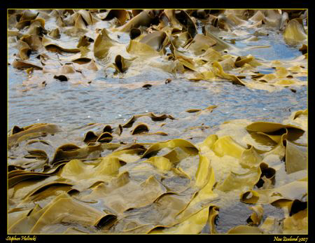 Massive Bull Kelp in New Zealand.  Canon A630 by Stephen Holinski