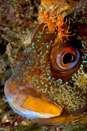 Tompot Blenny, Trefor Pier, N.Wales, UK by Heather Garland
