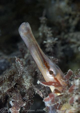 Snake pipefish. Another one from Trefor pier. D200, 60mm. by Derek Haslam