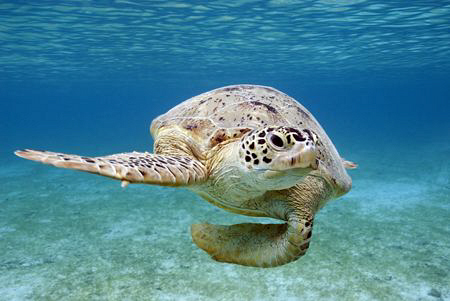 This curious green turtle came to have a closer look at m... by Erika Antoniazzo