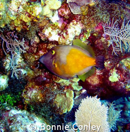 Whitespotted Filefish seen in Grand Cayman on August 2008... by Bonnie Conley