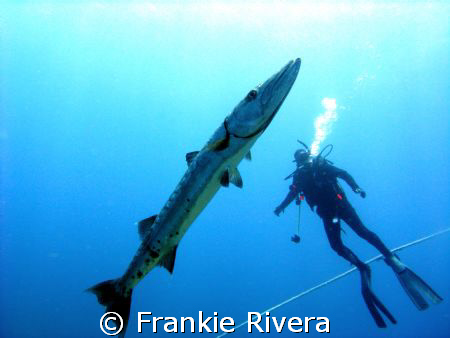 Great Barracuda and my friend Albert.  Desecheo Island, P... by Frankie Rivera