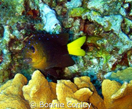 Yellowtail Damselfish seen in Grand Cayman August 2008.  ... by Bonnie Conley
