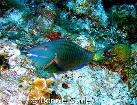 Stoplight Parrotfish seen in Grand Cayman August 2008.  P... by Bonnie Conley