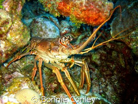 Lobster seen in Grand Cayman August 2008.  Photo taken wi... by Bonnie Conley