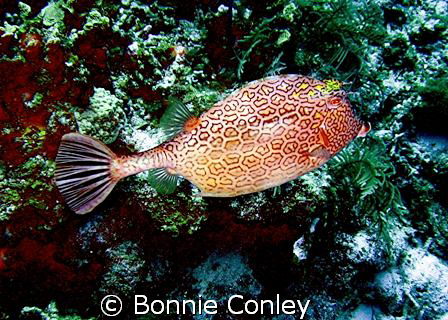 Honeycomb Cowfish - one of my favorite fish - seen in Gra... by Bonnie Conley