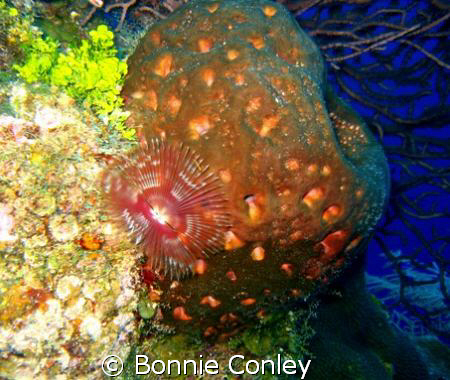 Split-Crown Feather Duster seen in Grand Cayman August 20... by Bonnie Conley