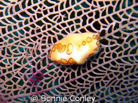 Flamingo Tongue seen in Grand Cayman August 2008.  Photo ... by Bonnie Conley