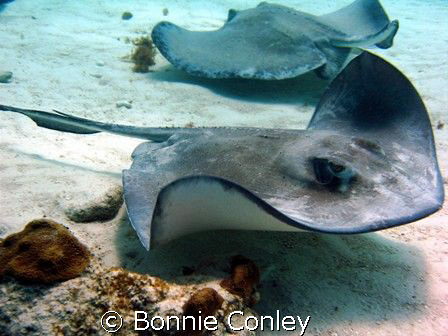 Stingray from Stingray City in Grand Cayman.  Photo taken... by Bonnie Conley