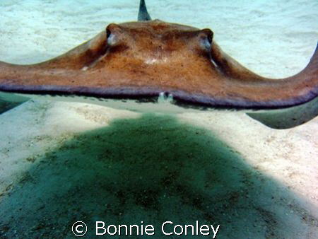 Heading straight for me!  Stingray City, Grand Cayman.  P... by Bonnie Conley