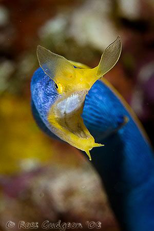 Blue Ribbon Eel.  Wakatobi, SE Sulawesi.  Canon 40D & Can... by Ross Gudgeon